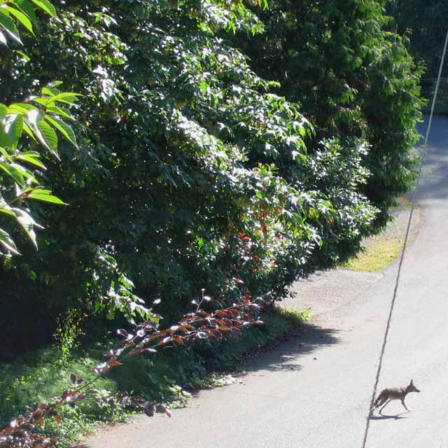 Coyote on 184th